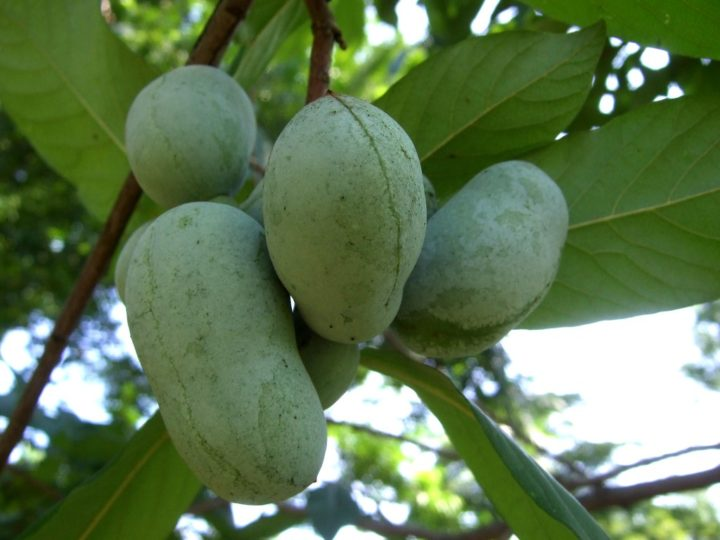 All You Need to Know About Pawpaw Fruit- Nutrition Facts, Health Benefits, and Allergies