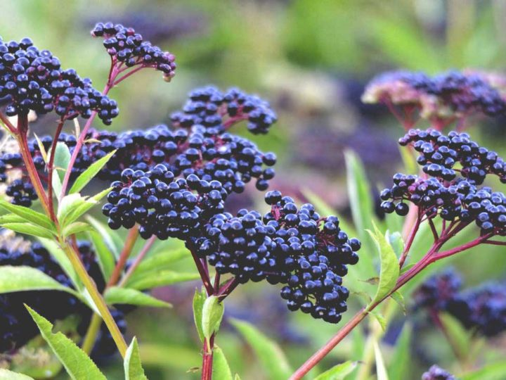 Amazing Facts About Elderberry